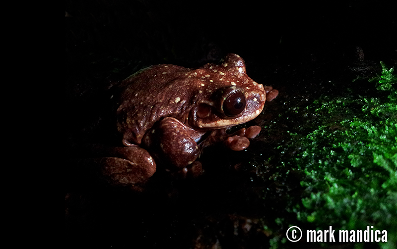 Toughie is the last known Rabbs' Fringe-Limbed Tree Frog in existence. He is named after George Rabb, one of the world's most eminent herpetologists. Mark Mandica